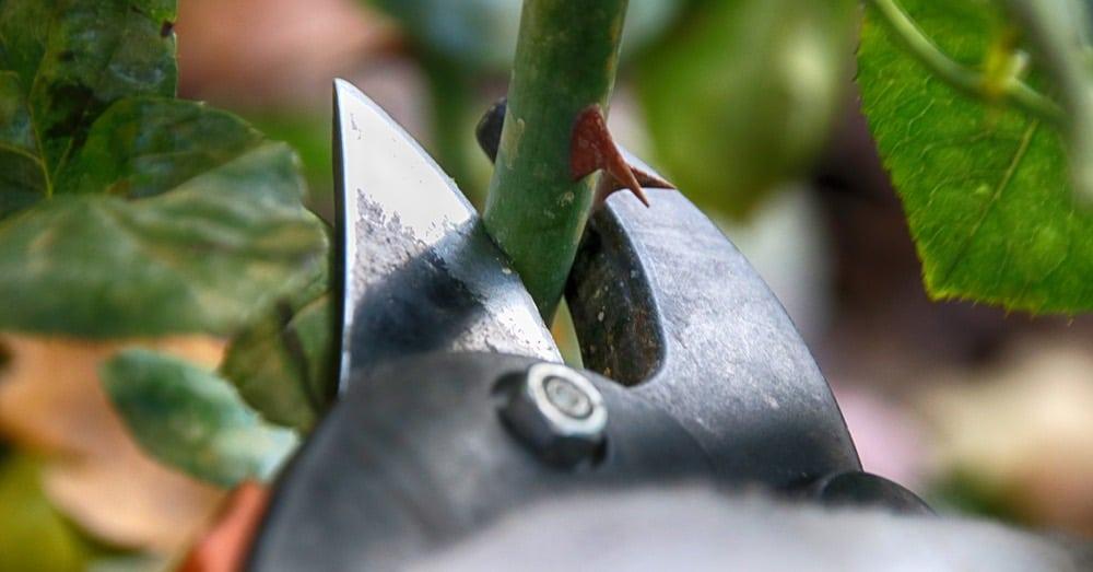 3  formas fáciles de mantener las rosas por más tiempo